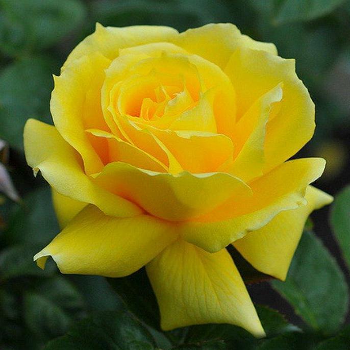 Landora Gül Fidanı - Sarı