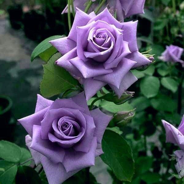 Parf de Violet Gül Fidanı - Lila