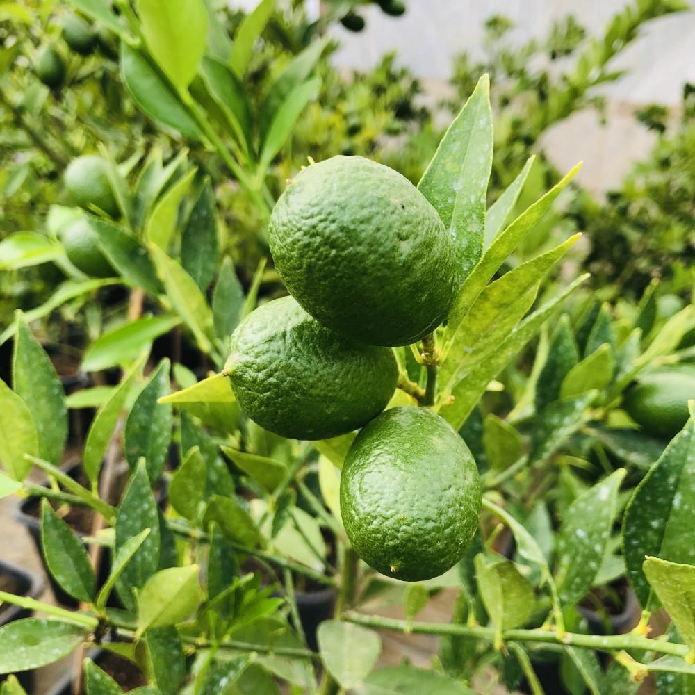 5 Yaş Süs Limonu Fidanı *ÜZERİ MEYVELİ*