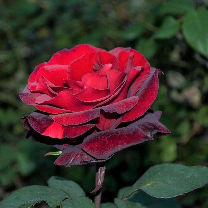 Barkarole Gül Fidanı - Kadife Kırmızı