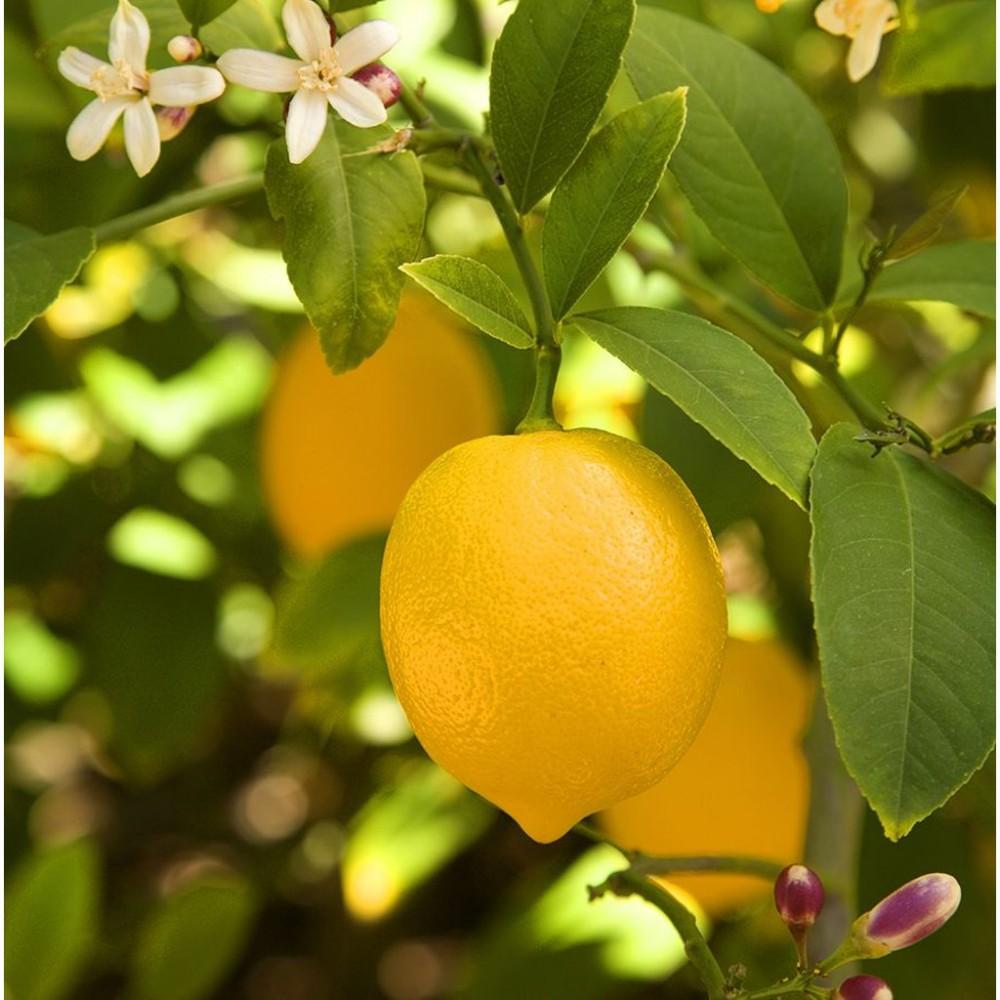 Dekoratif Saksılı Tijli Limon Fidanı *Solucan Gübresi Hediyeli*