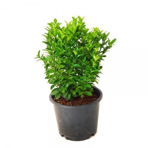 10 Adet Yeşil Sütun Taflan Fidanı
