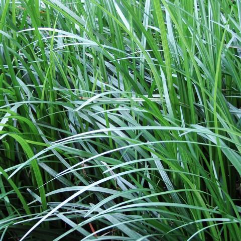 100 adet Osmanlı çimi ( Ophiopogon japonicum )