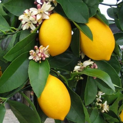 2 Yaş Aşılı 7 Veren(Yediveren) Mayer Limon Fidanı