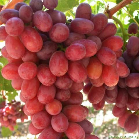 2 Yaş Crimson Seedles Üzüm Fidanı