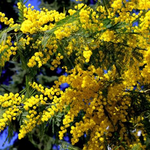 2 Yaş Mimoza Ağacı Fidanı - Gümüşi akasya (Acacia dealbata)