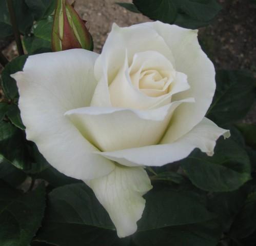 Pascali Gül Fidanı - Beyaz