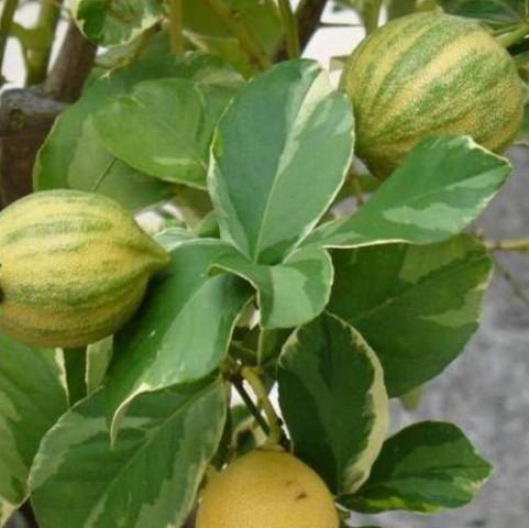 3 Yaş Alaca Yapraklı Limon Fidanı