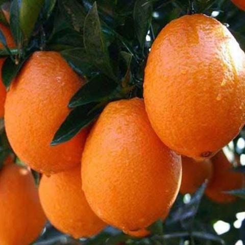 3 Yaş Aşılı Yafa Portakal Fidanı