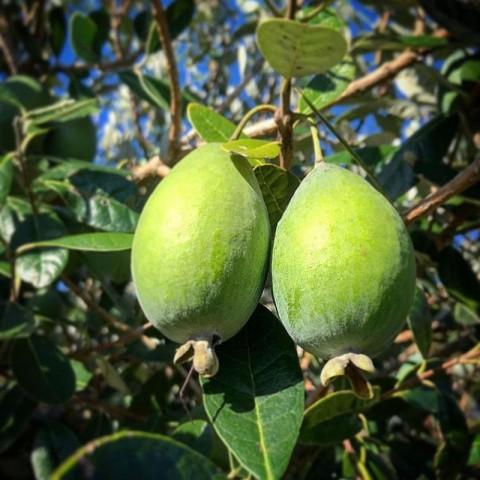 3 Yaş Feijoa Fidanı (Kaymak Ağacı-Acca sellowiana) *2adet*