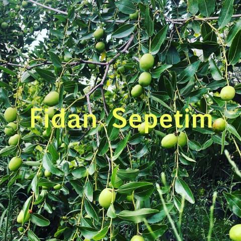 4 Yaş Ufak Meyveli Hünnap Fidanı