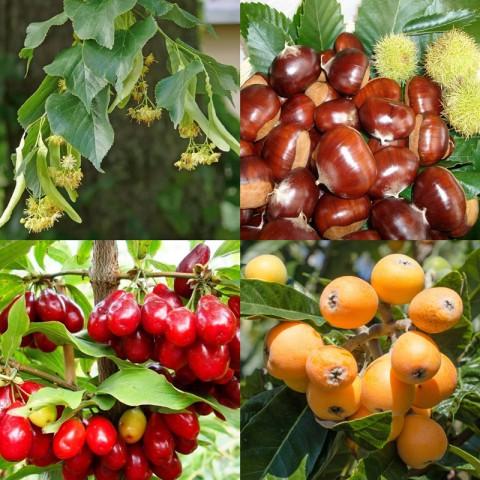 4'lü Meyve Fidanı Paketi (Ihlamur-Kestane-Kızılcık-Malta Erik)