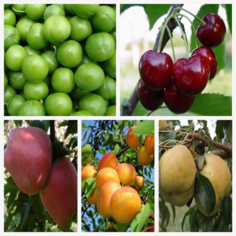 5 Çeşit Meyve Fidanı Paketi (Hobi bahçesine özel)
