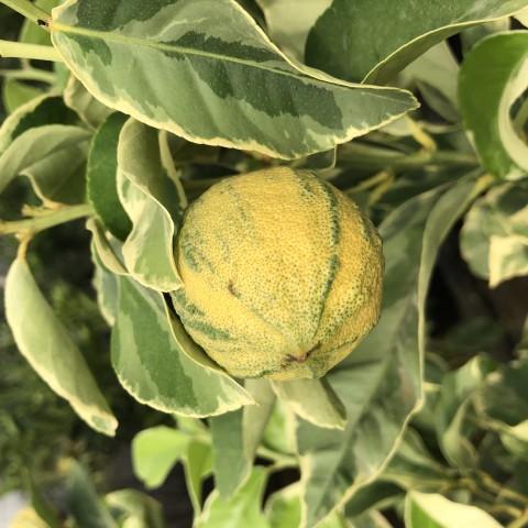 5 Yaş Alaca Yapraklı Limon Fidanı
