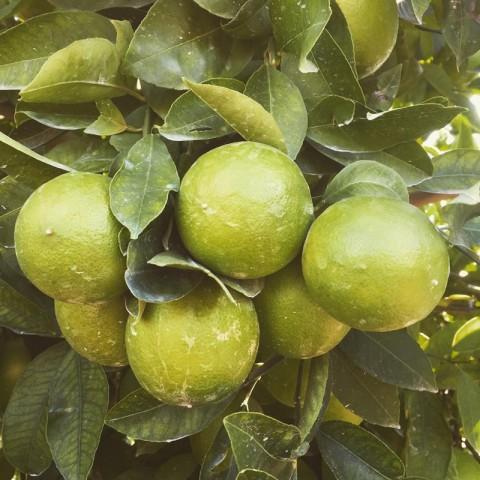 5 Yaş Mexican Lime Fidanı *ÜZERİ MEYVELİ*