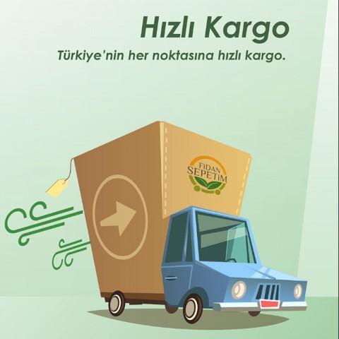 6 Yaş Aşılı Hachiya Trabzon Hurması Fidanı *Çikolatalı*