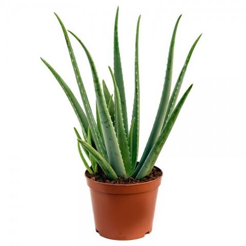 Aloe Vera Bitkisi 40 Cm