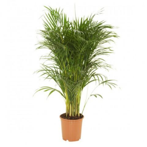 Areca Palmiyesi Bitkisi 140-150cm