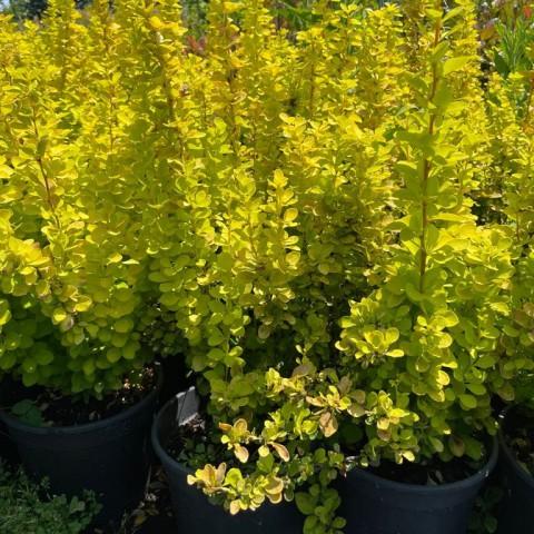Berberis thunbergii maria - Sarı Yapraklı Berberis Fidanı