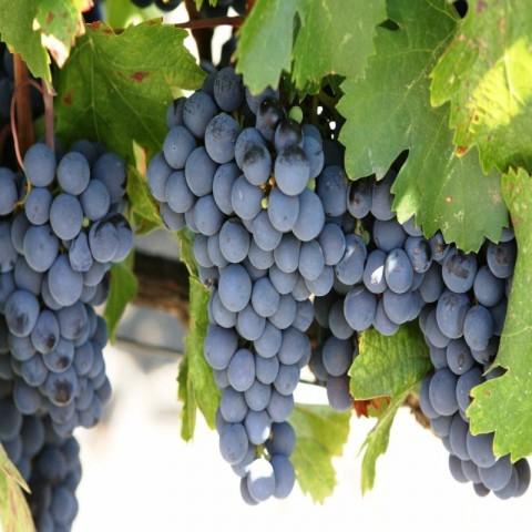 Cabarnet Sauvignon Üzüm Fidanı -Açık Kök-