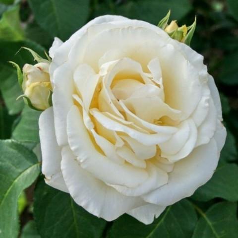 Chopin Gül Fidanı - Beyaz