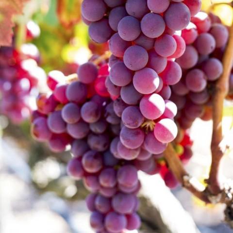 Crimson Üzüm Fidanı -Açık Kök-