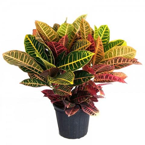 Croton Petra Bitkisi 40-50 Cm