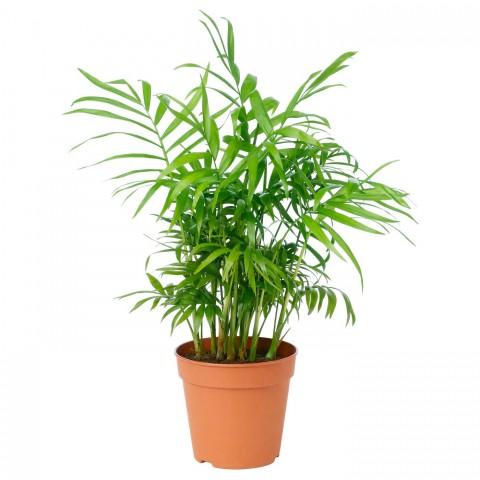 Dağ Palmiyesi  Bitkisi 'Chamaedorea Elegans' 30-40 Cm