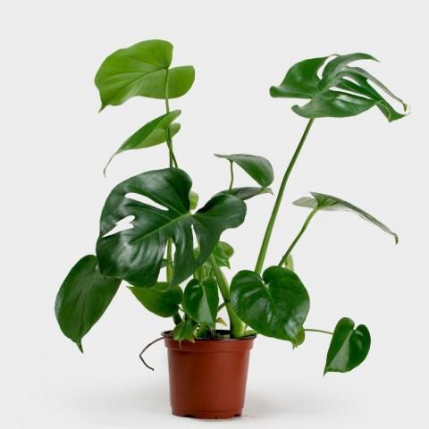 Deve Tabanı Bitkisi 40-50 cm