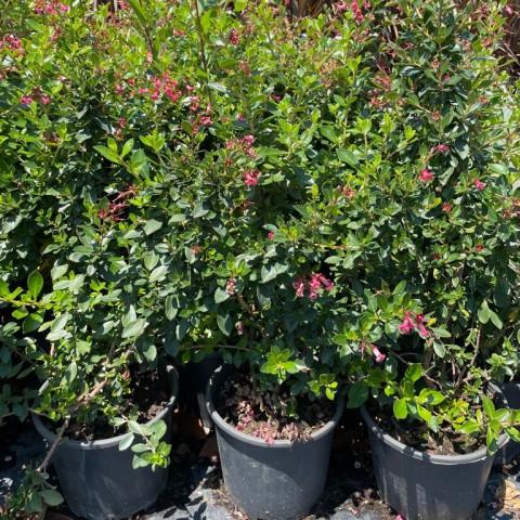 Escallonia cardinallis - Pembe Çiçekli Eskalonya Fidanı