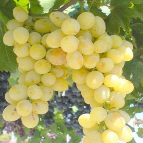 İtalya Üzüm Fidanı -Açık Kök-