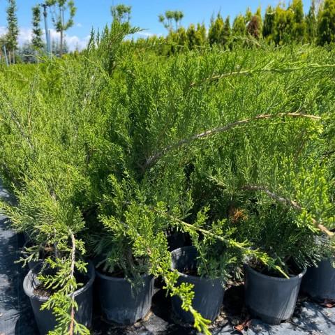 Juniperus x media 'Mint Julep' - Yeşil Ardıç Fidanı