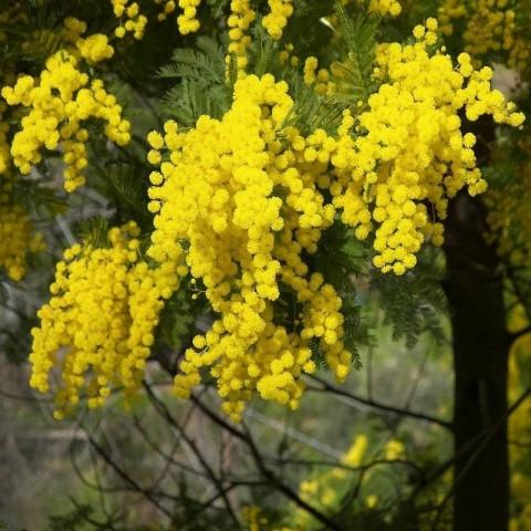 3 Yaş Mimoza Ağacı Fidanı - Gümüşi akasya (Acacia dealbata)