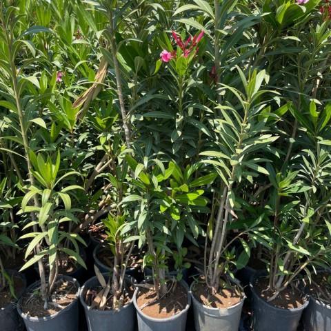 Nerium oleander - Zakkum Fidanı