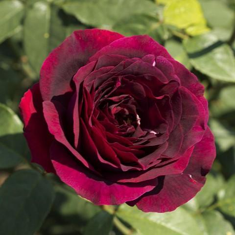 Olde Romeo Gül Fidanı - Kadife Kırmızı