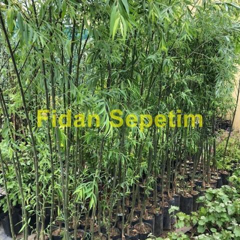 Salkım Söğüt Fidanı (Salix Babylonica)