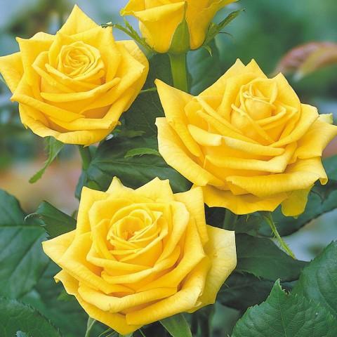 Sunblest Gül Fidanı - Sarı