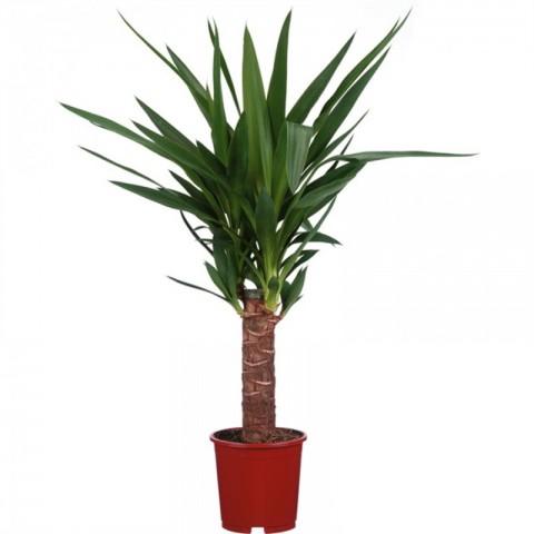 Yucca Bitkisi Tek Gövdeli 50-60 Cm